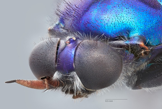 """Geoff Thompson. Head of a soldier fly, Antissa notha (Hardy, 1932) PS2138 from Lamington NP IBISCA site 700A, top upper right, Canon 7DMkII, """"Ocellus"""" microscope 10X. Focus stacked from a total of 202 source images in four stacks with Zerene stacker software, then merged in Photoshop."""