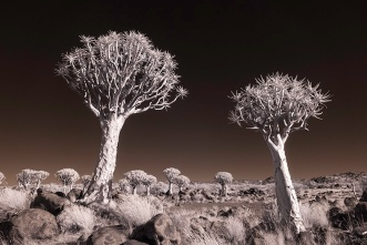 Gigi Williams; Quiver Tree Infrared